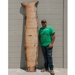 Norfolk Island Pine Wood Slab #NC1353